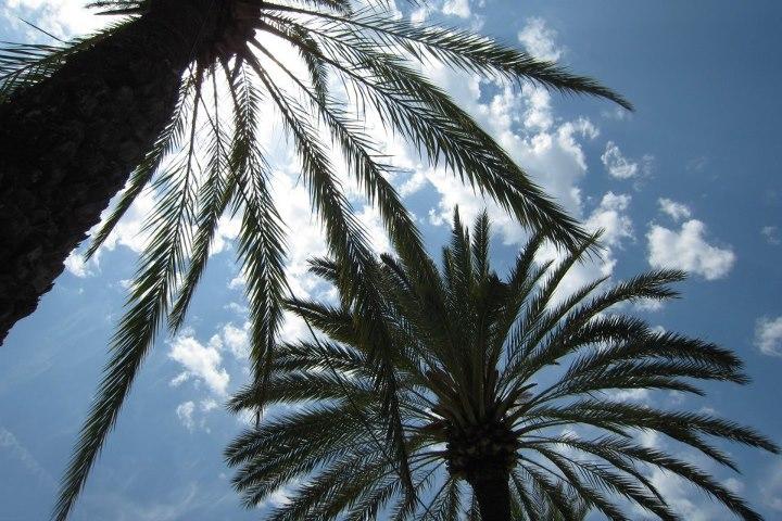 Ibiza palm trees